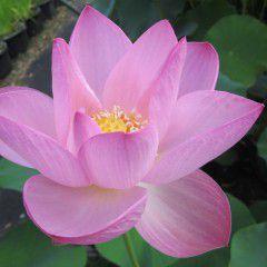 Nelumbo Fenicottero ® - Fior di loto grande