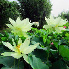 Nelumbo Galassia ® - Large lotus
