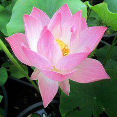 Nelumbo Galen Clark ® - Medium lotus