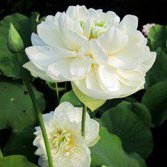 Nelumbo Gardenia ® - Fior di loto grande