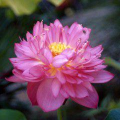 Nelumbo Il Mandarino ® - Fior di loto piccolo
