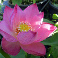 Nelumbo Onirica ® - Medium lotus flower