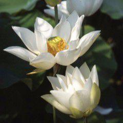 Nelumbo Pizzicaluna ® - Fior di loto piccolo