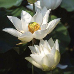 Nelumbo Pizzicaluna ® - Small lotus