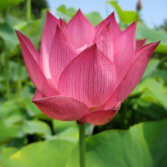 Nelumbo Santo Graal ® - Medium lotus