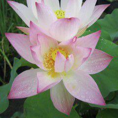 Nelumbo Splendore nella Rugiada ® - Fior di loto medio
