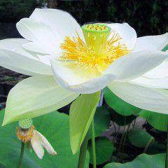 Nelumbo Walter Bonatti ® - Large lotus