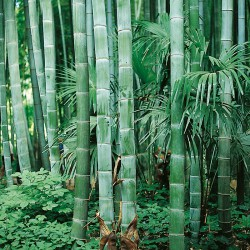 Phyllostachys pubescens